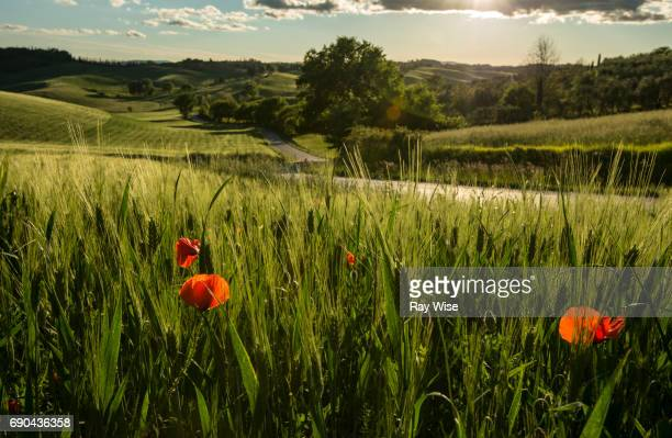 Poppies in a wheat field in Tuscany, Italy.