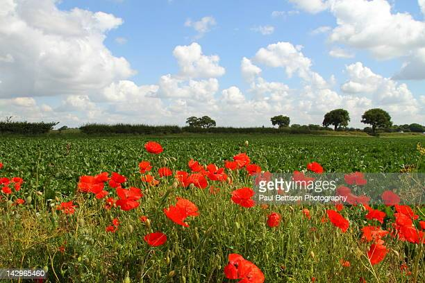 poppies in field - doncaster stock pictures, royalty-free photos & images