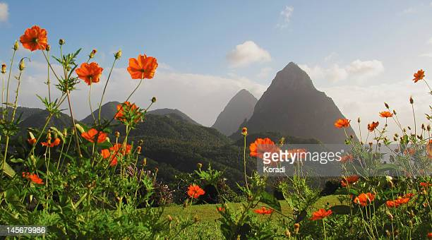 poppies in field - st. lucia stock pictures, royalty-free photos & images