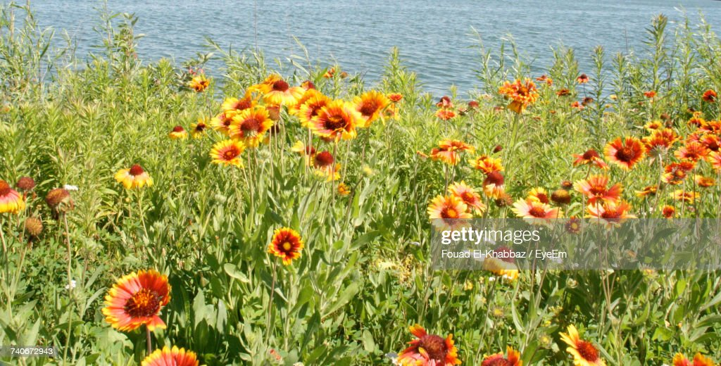 Poppies In Field : Stock Photo