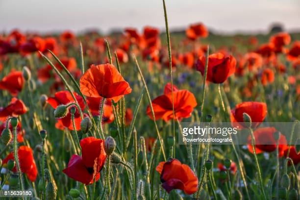 poppies in focus - poppy field stock photos and pictures