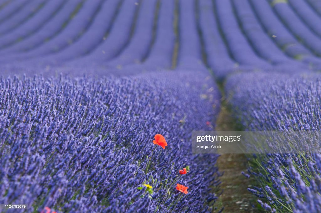 Poppies in lavender fields : Stock Photo