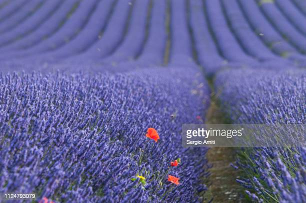 Poppies in lavender fields