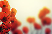 poppies in spring with beautiful bokeh