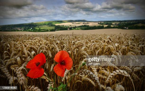 Poppies in the foreground of a ripening wheat field near Wilmington, East Sussex, the South Downs, England, 3rd August 2019.
