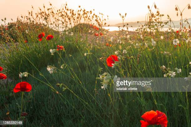 poppies in the sun - april stock pictures, royalty-free photos & images