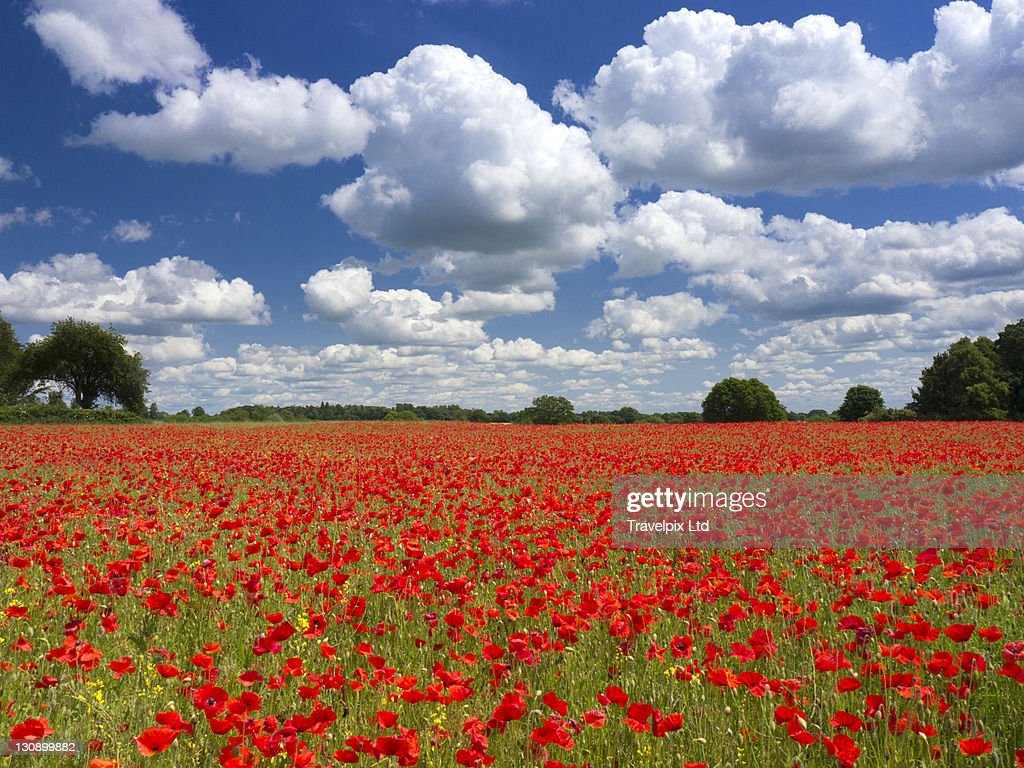 Poppies in the valley of the somme, France : Stock Photo