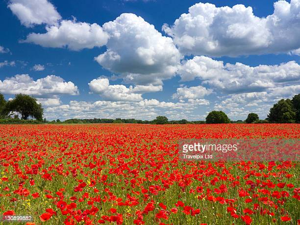 Poppies in the valley of the somme, France