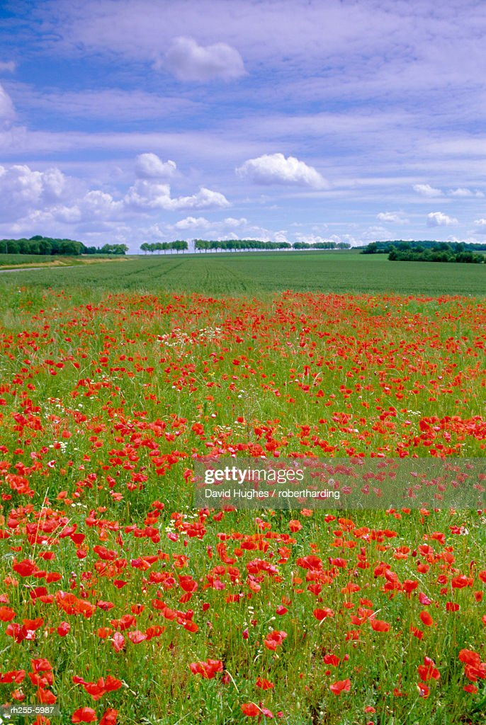 Poppies in the Valley of the Somme near Mons, Nord-Picardie (Picardy), France, Europe : Stockfoto