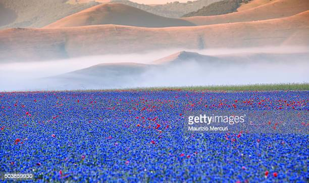 poppies in the valley - castelluccio stock photos and pictures