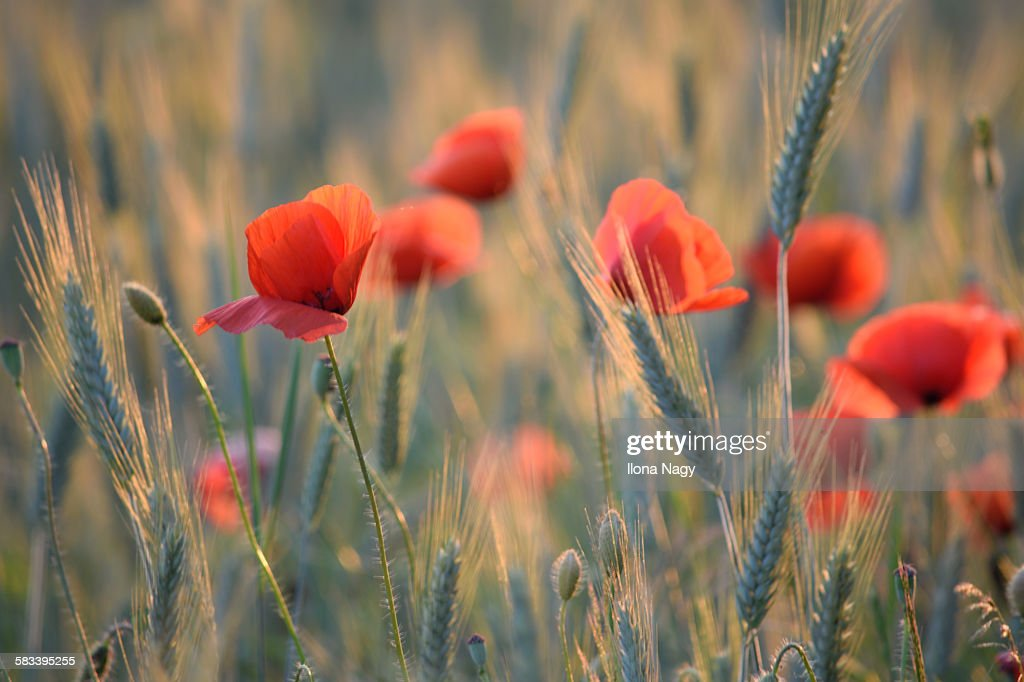 Poppies in wheat field : Stock Photo