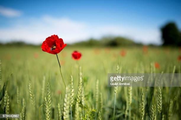 poppies in wheat field - poppy stock pictures, royalty-free photos & images