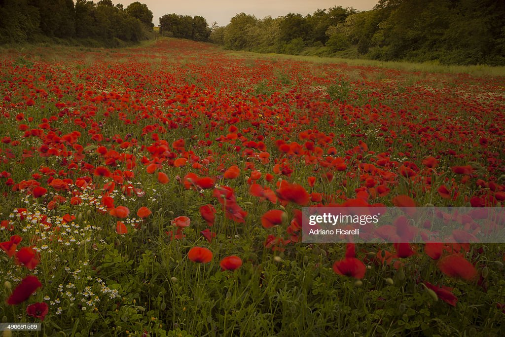 A poppies meeting : Foto stock