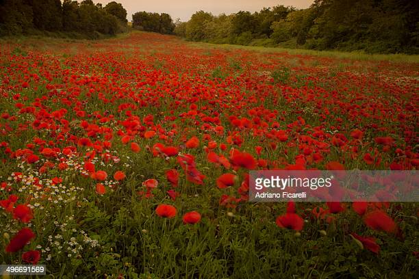 a poppies meeting - adriano ficarelli photos et images de collection