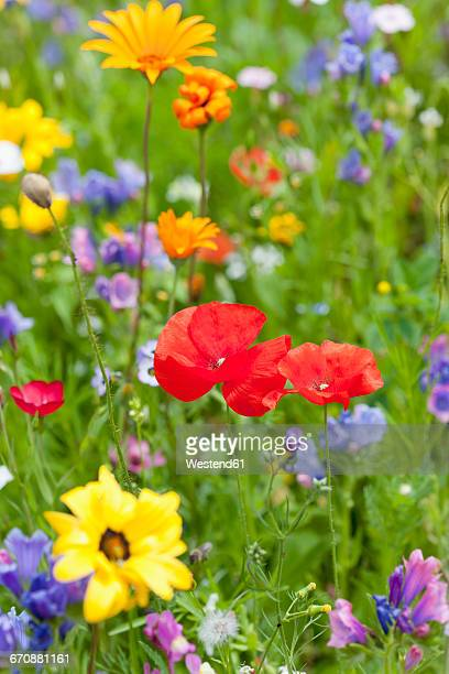Poppies on field of flowers