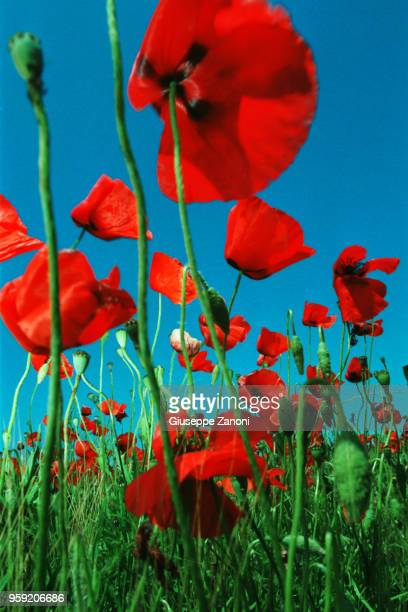 Poppies on green field and the blue sky