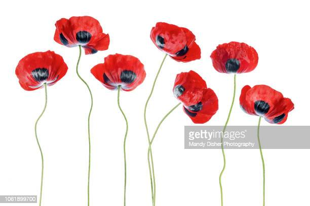 poppies - poppy stock pictures, royalty-free photos & images