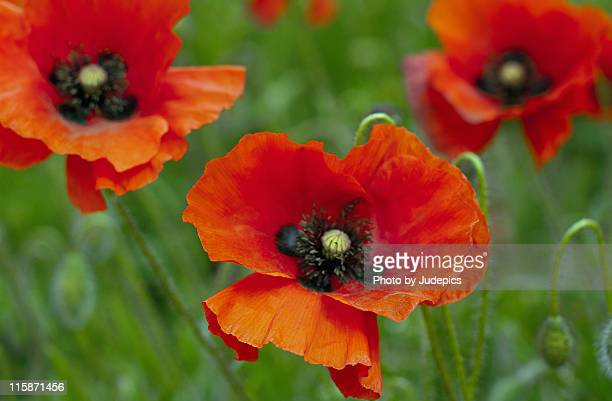 poppies - oriental poppy stock pictures, royalty-free photos & images