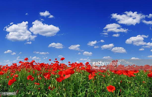 Poppies (XXXL size)