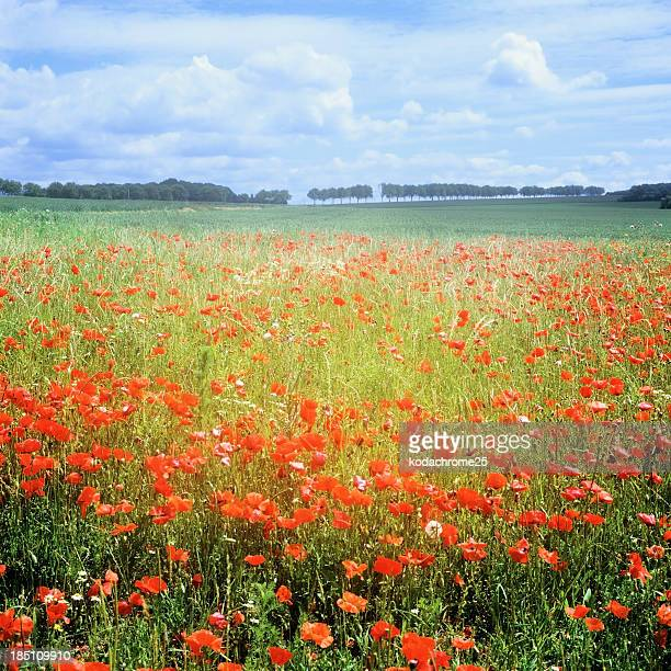poppies - hauts de france stock photos and pictures