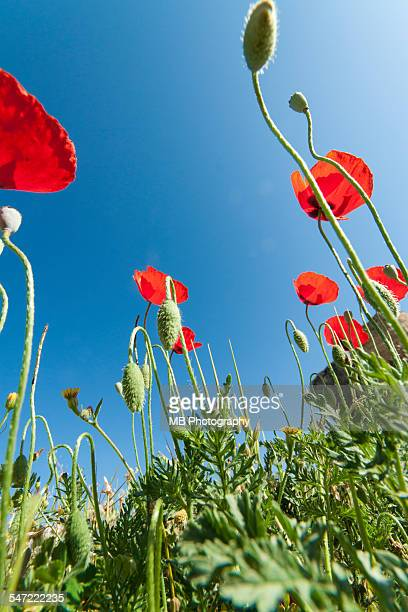 poppies - remembrance day australia stock photos and pictures