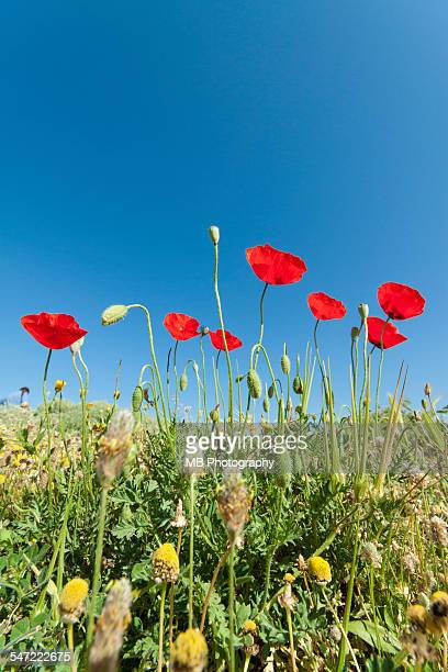 poppies - anzac day stock pictures, royalty-free photos & images