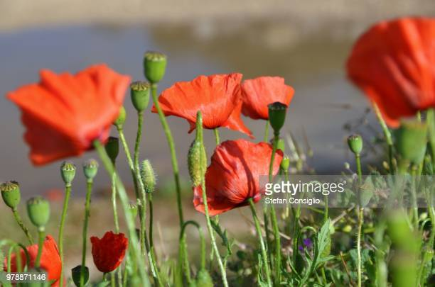 poppies - consiglio stock pictures, royalty-free photos & images