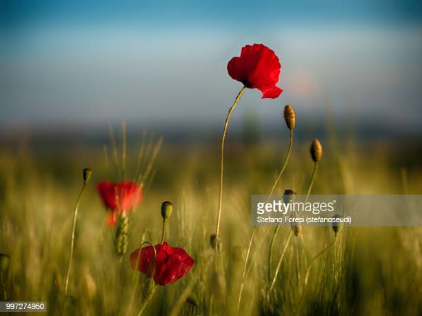 poppies - foresi stock pictures, royalty-free photos & images