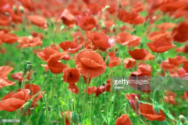 Poppies Scenery