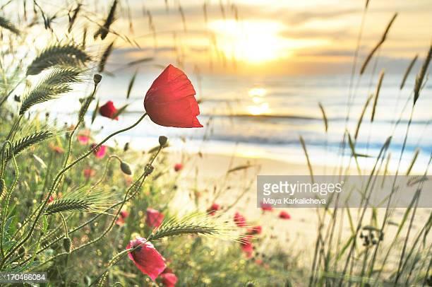 Poppies sunrise on the seashore