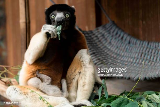 Poppy a female Crowned sifaka carries her cub at the zoo of Mulhouse eastern France on March 5 2019 The Crowned sifaka is a critically endangered...