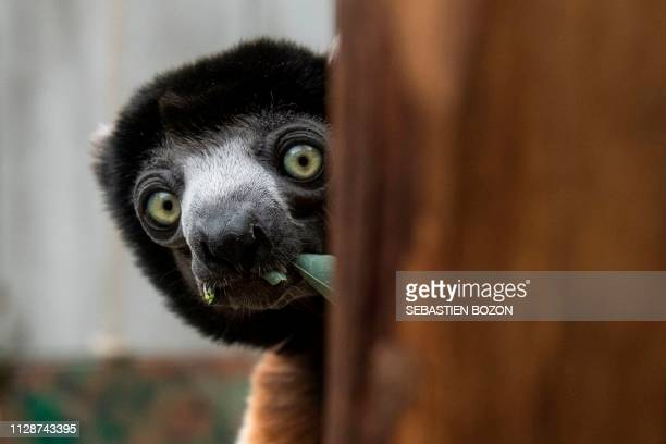 Poppy, a female Crowned sifaka, sits in her enclosure at the zoo of Mulhouse, eastern France, on March 5, 2019. - The Crowned sifaka is a critically...