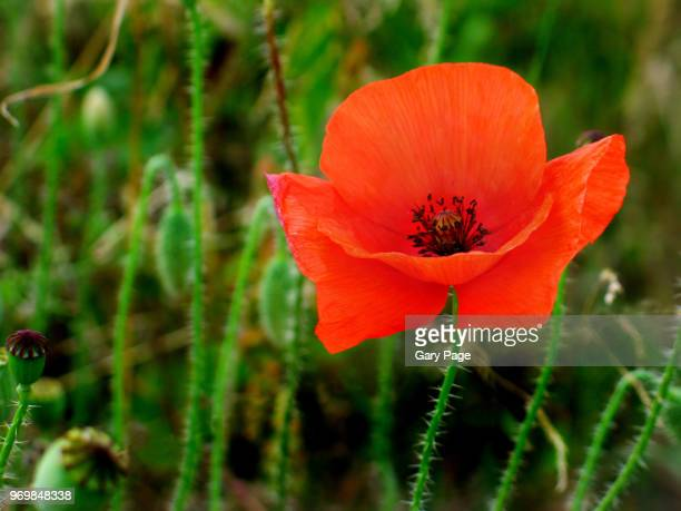 poppy against a green backdrop - poppies stock photos and pictures