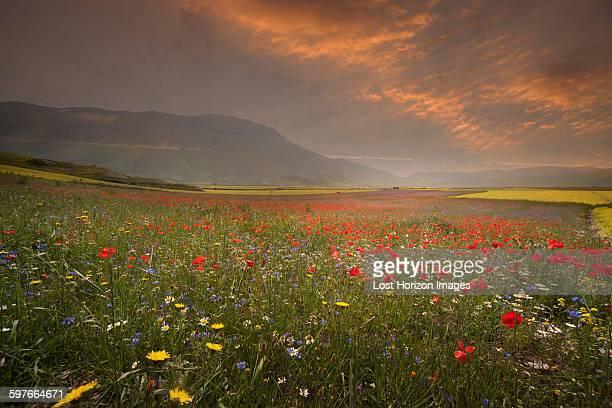 Poppy and wildflower meadow at sunrise, Castelluccio di Norcia, Umbria, Italy