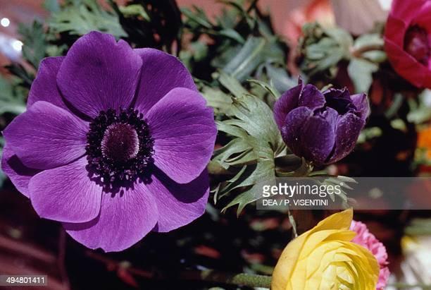 Poppy anemone or Spanish marigold Ranunculaceae