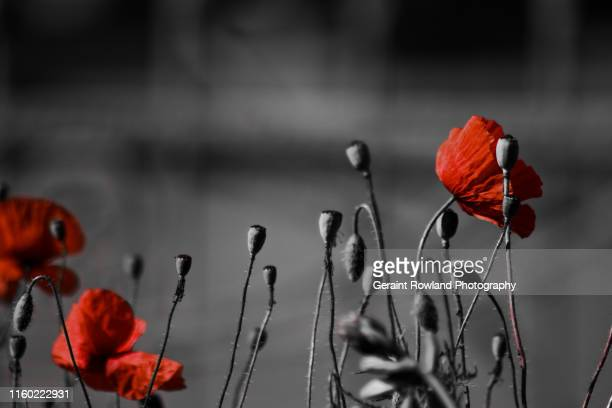 poppy art, england - opium poppy stock pictures, royalty-free photos & images