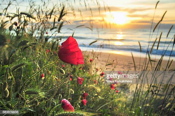 Poppy at sunrise by the sea shore
