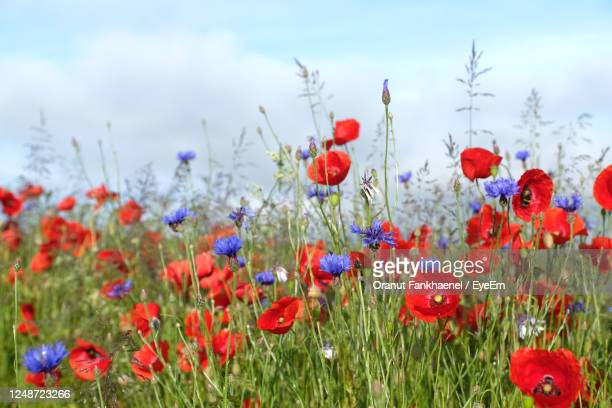 poppy, cornflowers and pink colonial bent. wildflower meadows for bees, butterflies and pollinators. - animals in the wild stock pictures, royalty-free photos & images