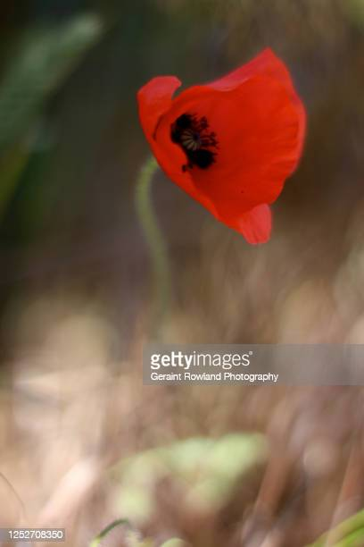poppy, england - love magazine stock pictures, royalty-free photos & images