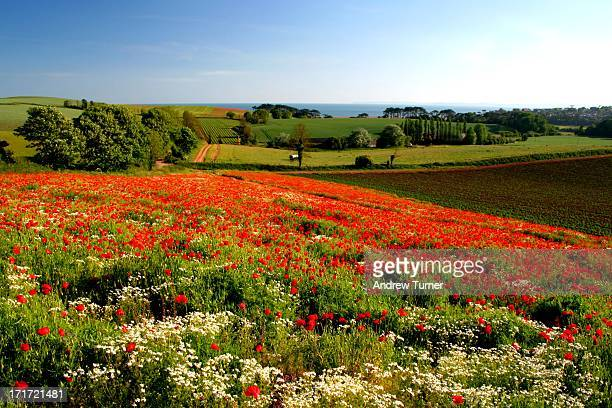 Poppy field adds some foreground colour to this rural landscape of Budleigh Salterton.