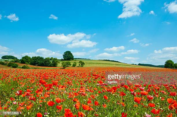 poppy field - agriculture landscape - poppy field stock photos and pictures