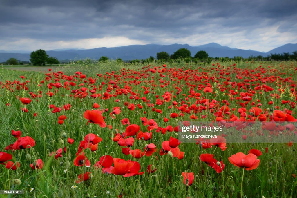 A poppy field and a mountain ridge in the background : Stock Photo
