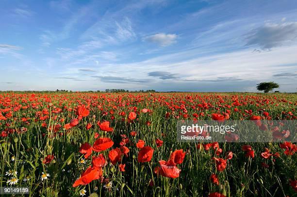Poppy champ et ciel bleu (XL