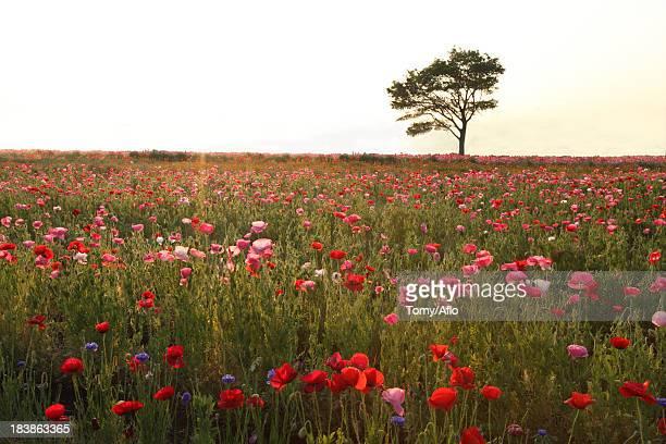 poppy field and tree - 五月 ストックフォトと画像