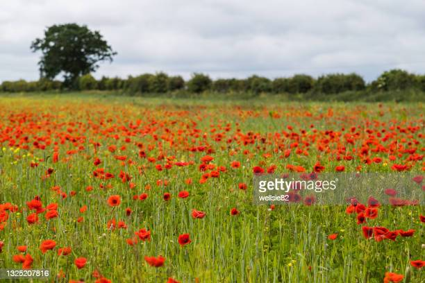 poppy field at brancaster - armistice stock pictures, royalty-free photos & images