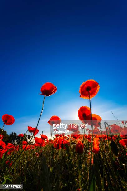 poppy field at sunlight - poppy field stock photos and pictures