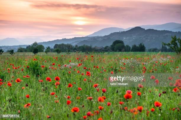 マロースティカの丘に沈む夕日でケシ畑 - ワイドショット ストックフォトと画像