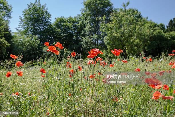 Poppy field, Hamburg, Germany