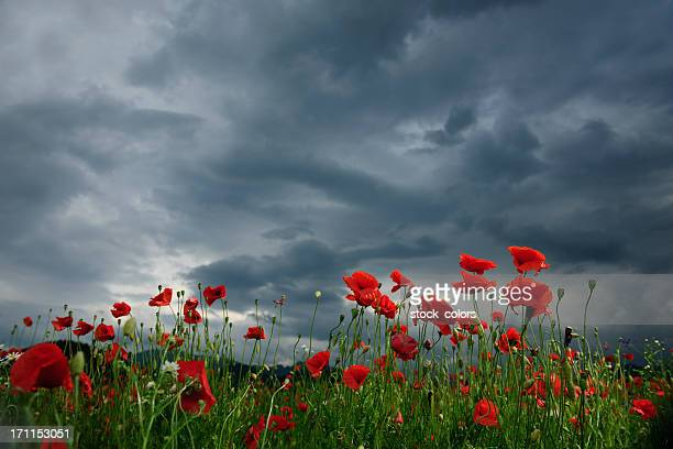 poppy field in cloudy day