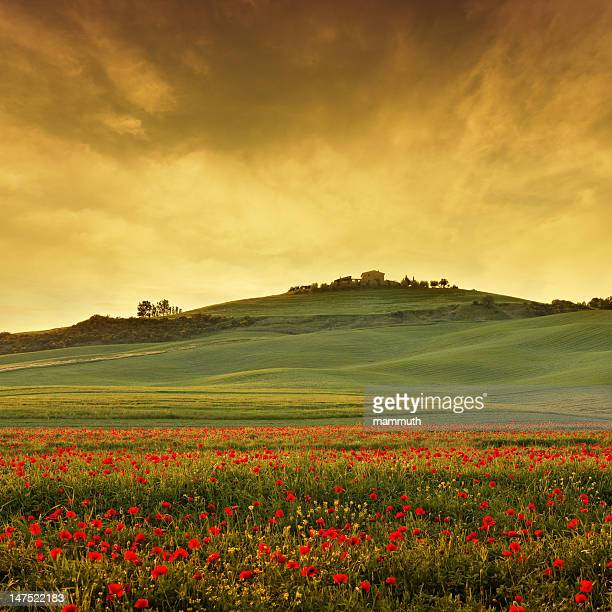 poppy field in Tuscany at dusk